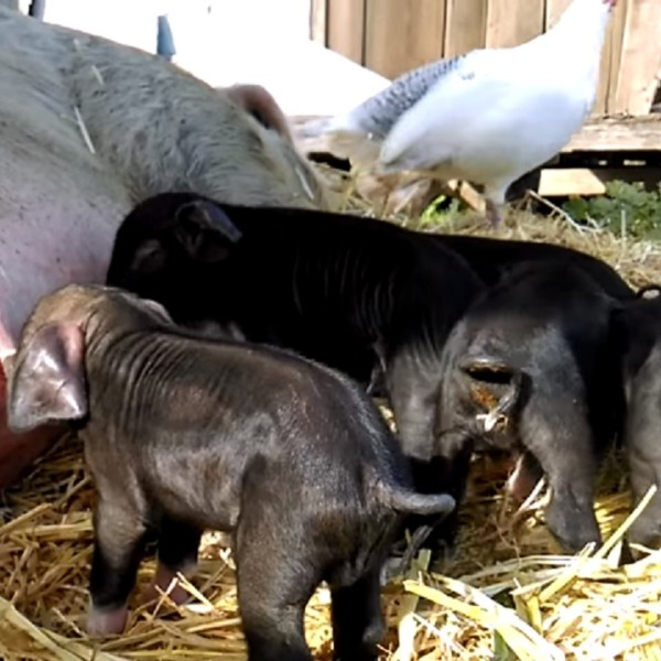 Newborn Piglets at Green Goose Farm